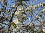 IMG_0874さくらの花.JPG